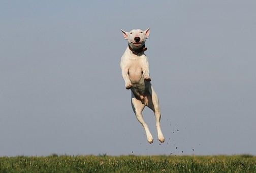 כלב קופץ לגובה